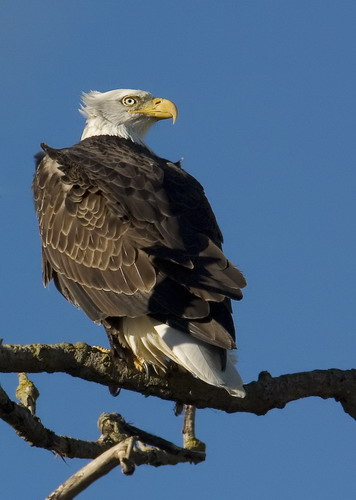 Bald Eagle at Sacramento NWR