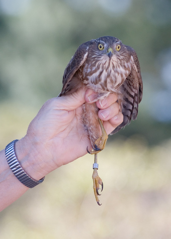 A soon-to-be-released Sharp-shinned Hawk at Hawk Hill